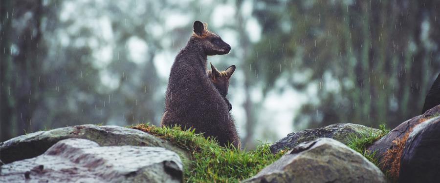 In de natuur rondom Melbourne zie je heel wat kleine walabi's rondhuppelen!