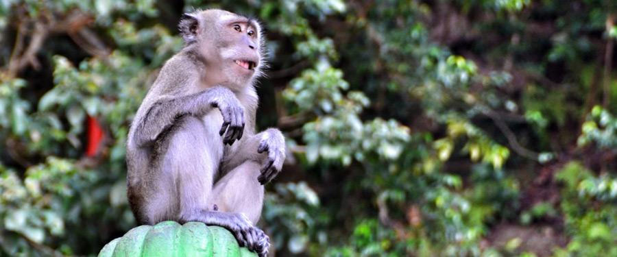 Een van de vele (gekke) makaken die rond de Batu Caves wonen. Let op je spullen want het zijn gewiekste dieven!