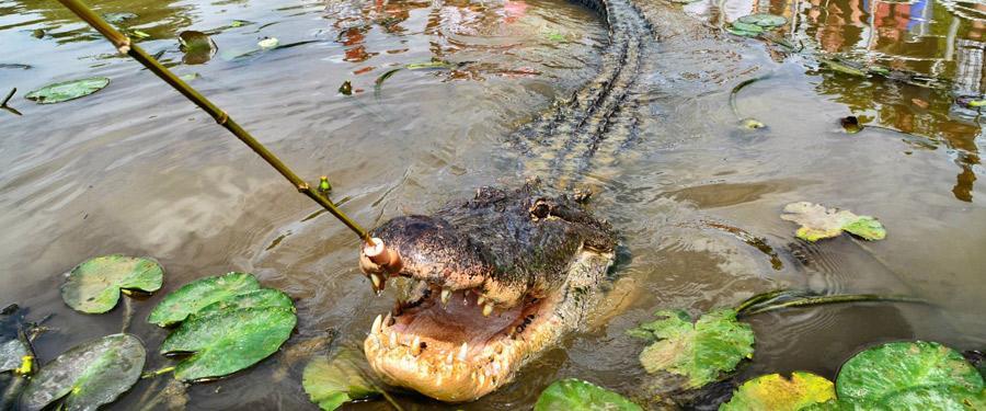 Vanuit New Orleans kan je een excursie doen naar de 'bayou' (moeras). Daar zie je honderden aligators en prachtige natuur!
