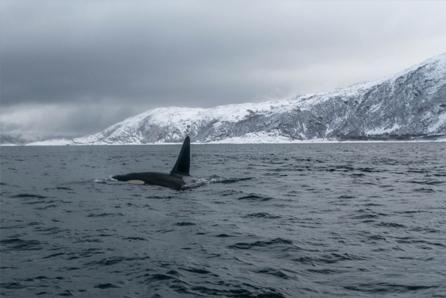 Orka noorwegen walvissen spotten in tromsø