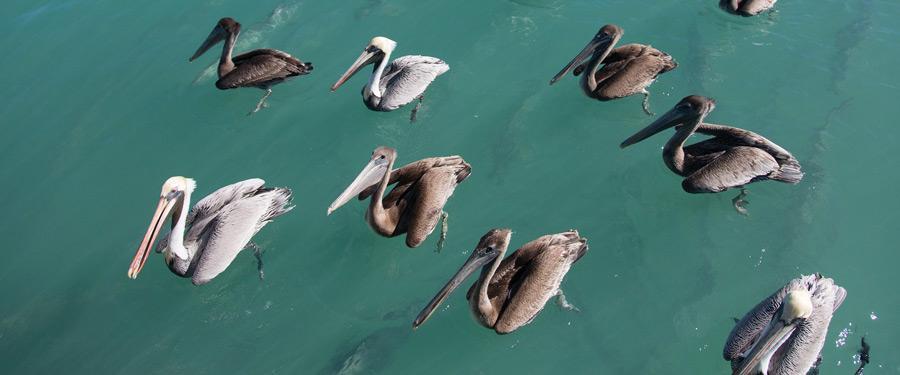 Enkele pelikanen in de turquoise wateren rondom Key West.