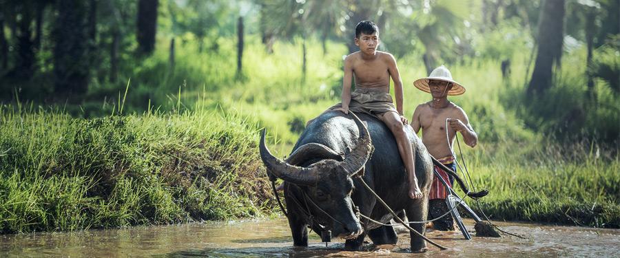 De kans is groot dat je enkele gigantische waterbuffels tegenkomt als je even buiten Siem Reap wandelt.
