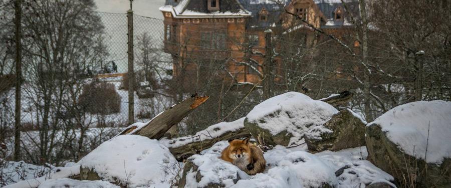 Een mooie vos in Skansen, Stockholm.