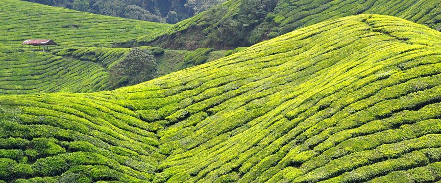 De prachtige thee plantages van Maleisië op de steile bergflanken van 's lands hoogste bergen.