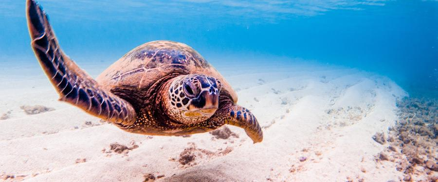 Een van de vele groene zeeschildpadden in het Grote barrièrerif.