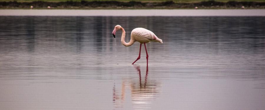 Duizenden flamingo's komen in Larnaca overwinteren.