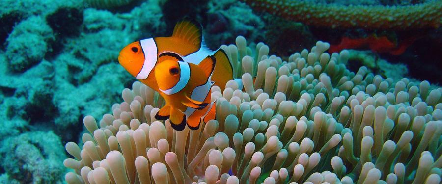 Rondom de eilanden kan je prachtige vissen zien tijdens het snorkelen en duiken. Hier twee clownvissen bij sharkpoint.