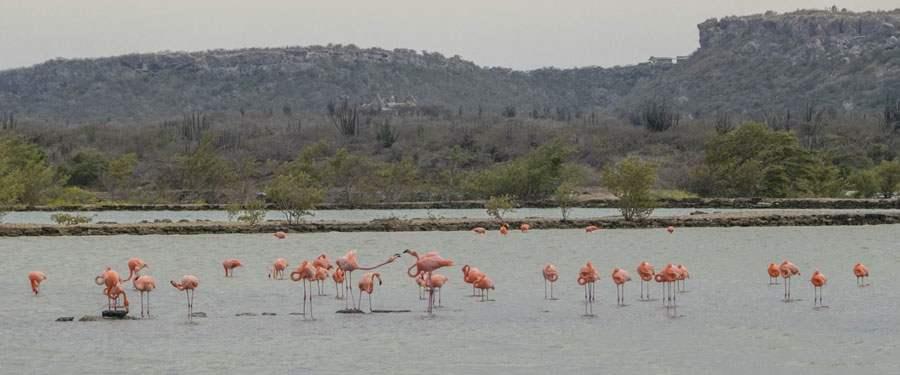 Een zoutwater meer in Curacao met heel wat mooie flamingo's.