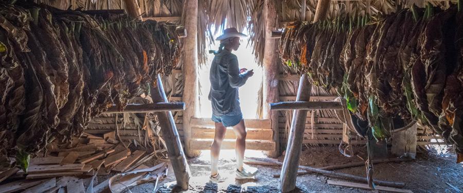 In deze hut wordt tabak gedroogd en bewerkt vooraleer het tot een Cubaanse sigaar wordt gerold.