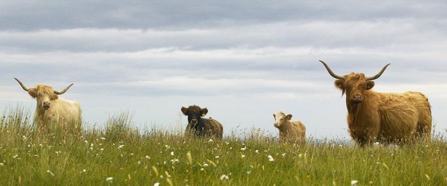 De Schotse Hooglanders. Een soort Schotse koe die je overal in het land ziet!