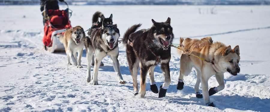 Een husky slee besturen is vermoeiender dan je denkt, maar zeker iets dat je moet gedaan hebben!