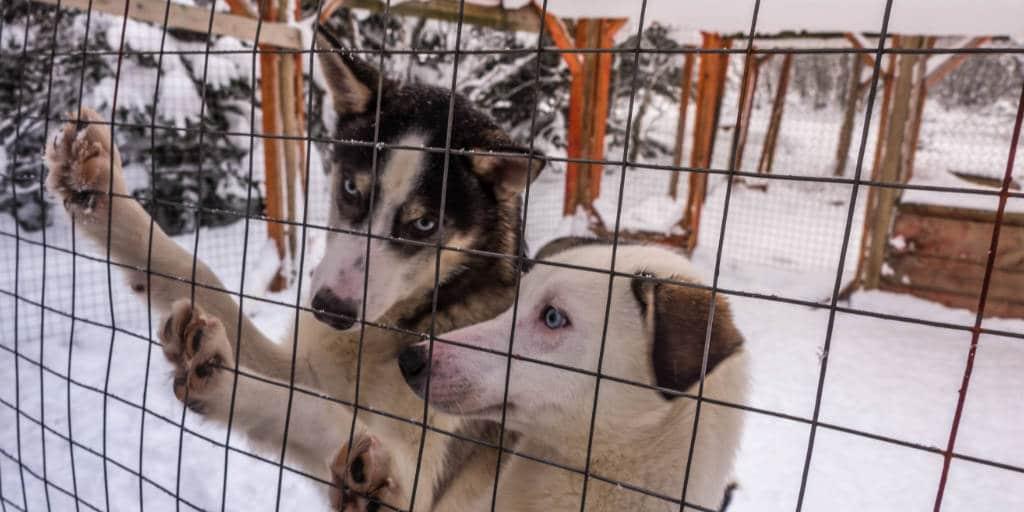 husky puppies lapland