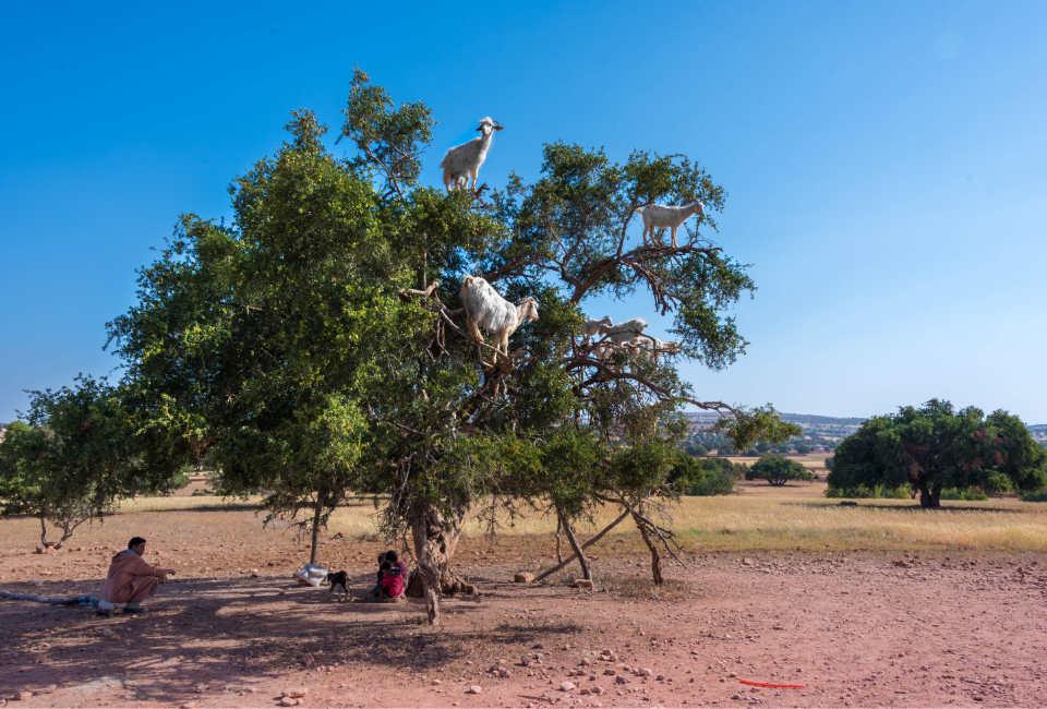 geiten in bomen marokko essaouira
