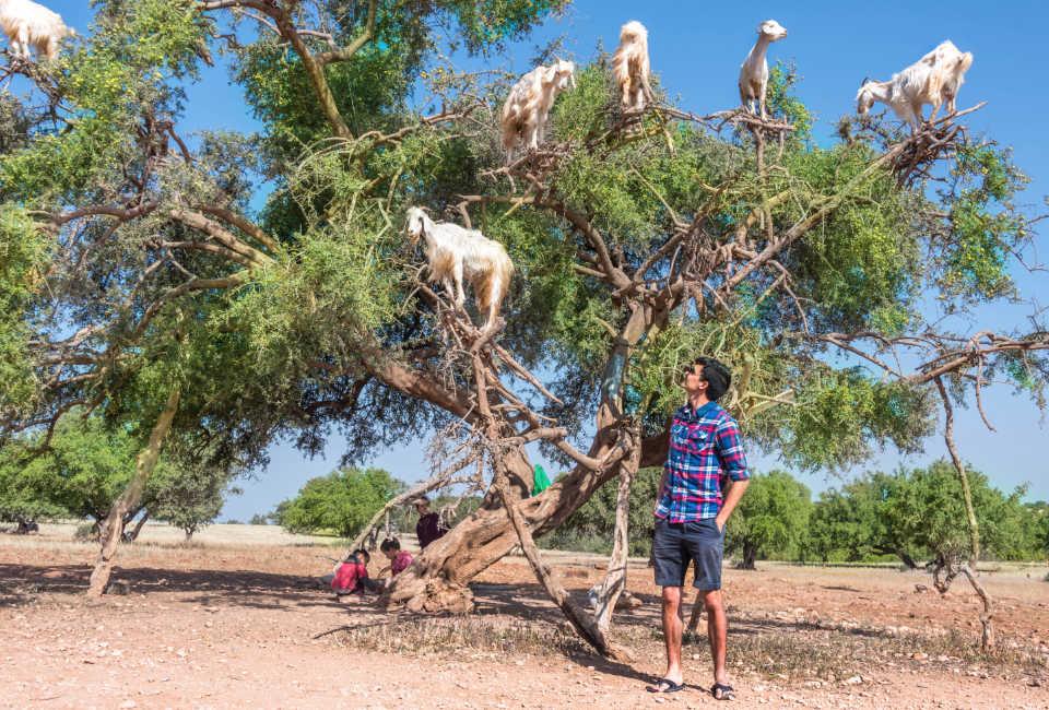 geiten in bomen - Marokko, Essaouira Marrakech
