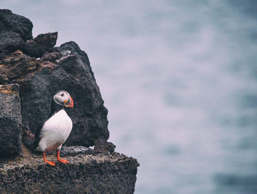 papegaaiduiker Vestmannaeyjar ijsland bezienswaardigheden