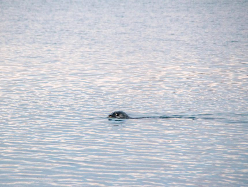 zeehond jokulsarlon gletsjermeer ijsland