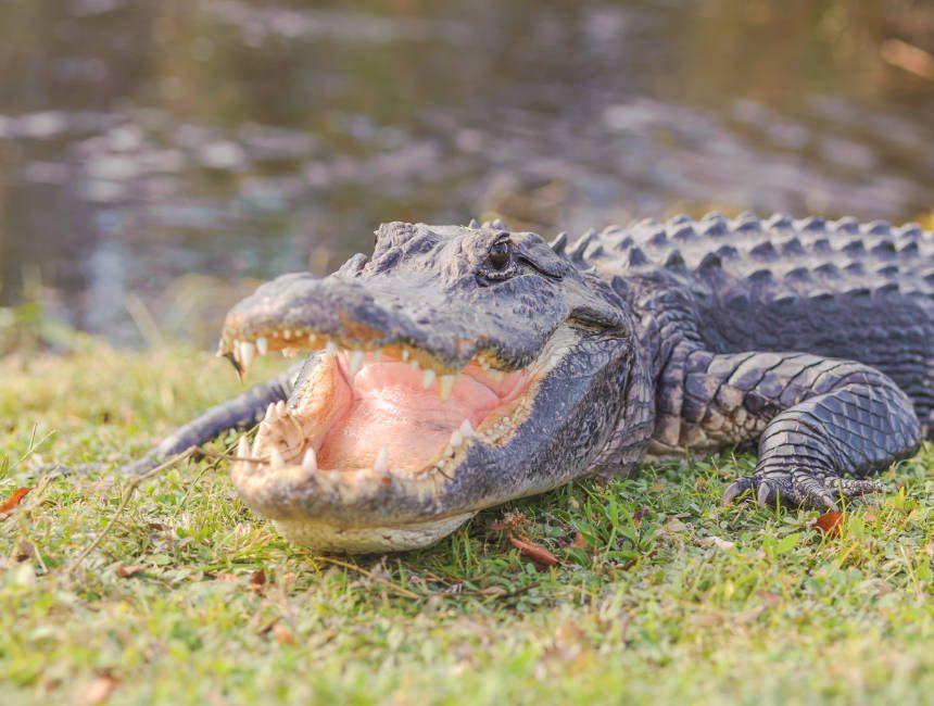 aligator everglades national park daguitstap miami