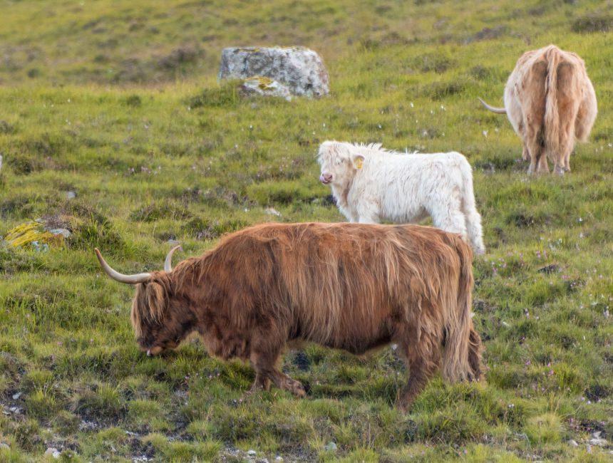 Schotse hooglander koe schotland