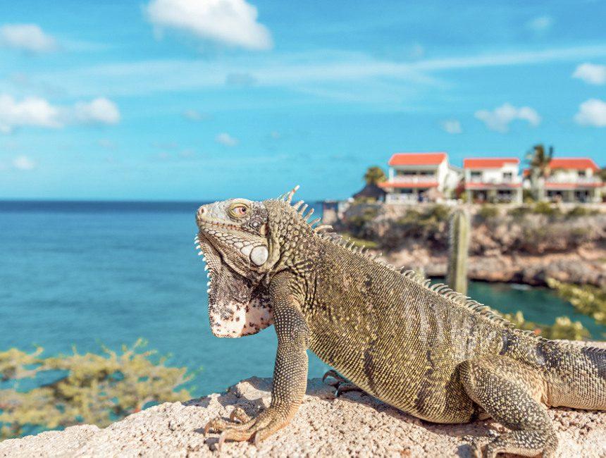 Curacao leguaan