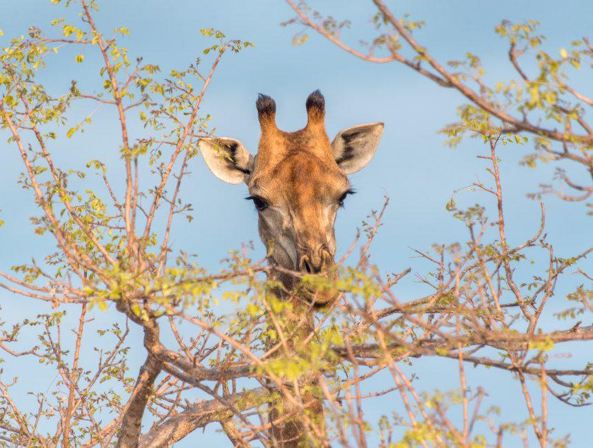 giraf Balule game reserve