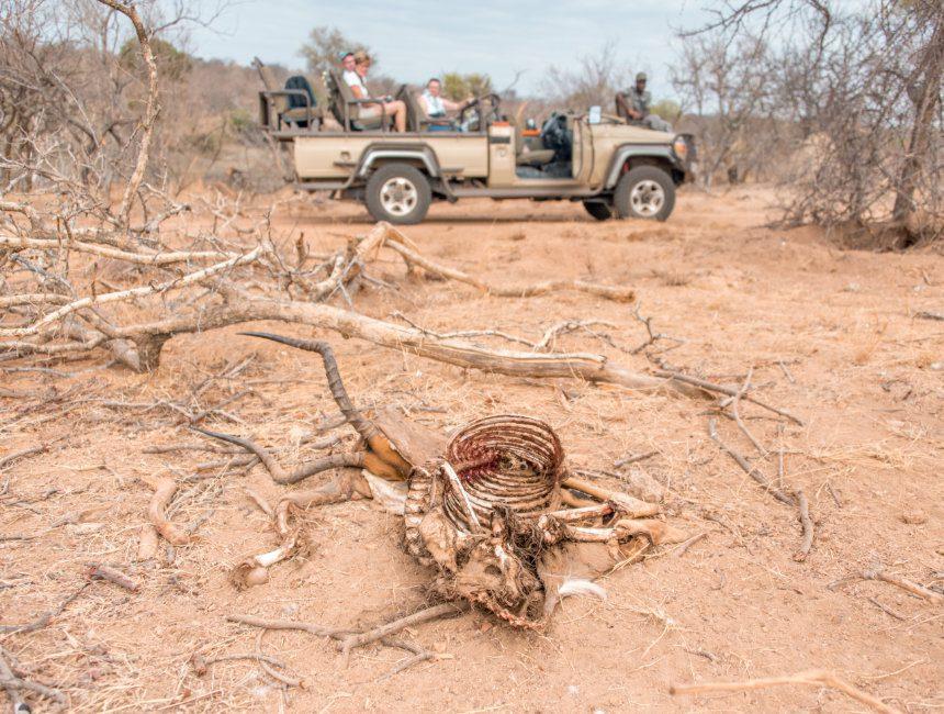 impala karkas Krugerpark