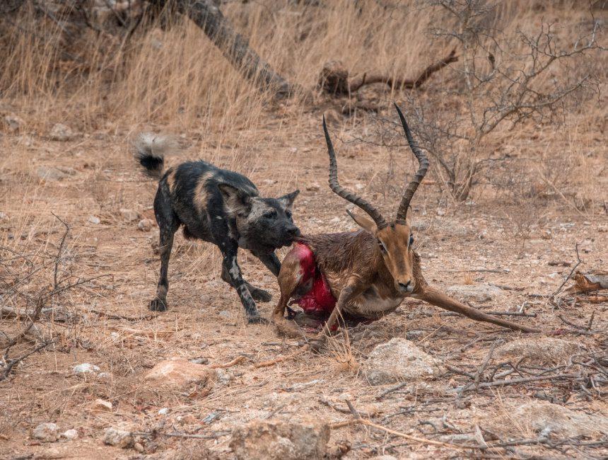 Krugerpark kill safari wilde hond gazelle