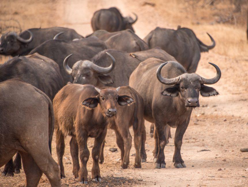 krugerpark lodges sausage tree safari camp buffel