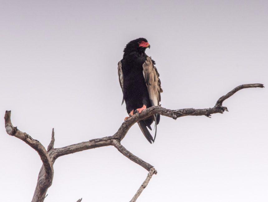 roofvogel Kruger safari Zuid Afrika