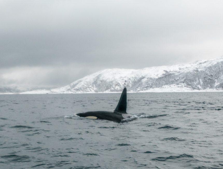 orka Tromsø walvissen noorwegen