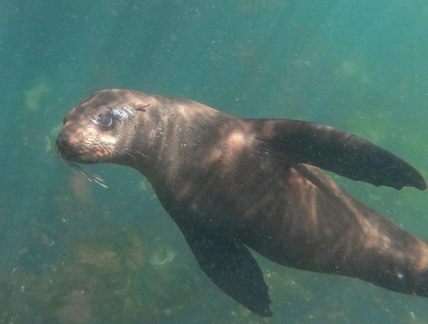 zeehonden plettenbergbaai