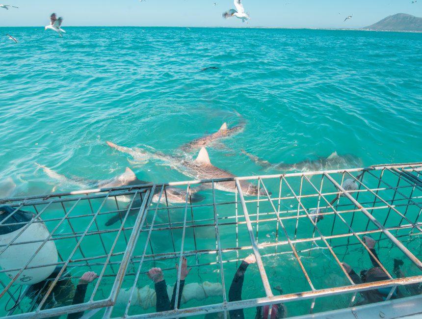 zwemmen met haaien garden route