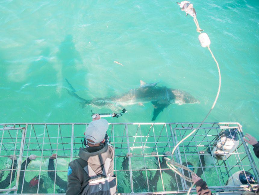 ethisch verantwoord zwemmen met haaien