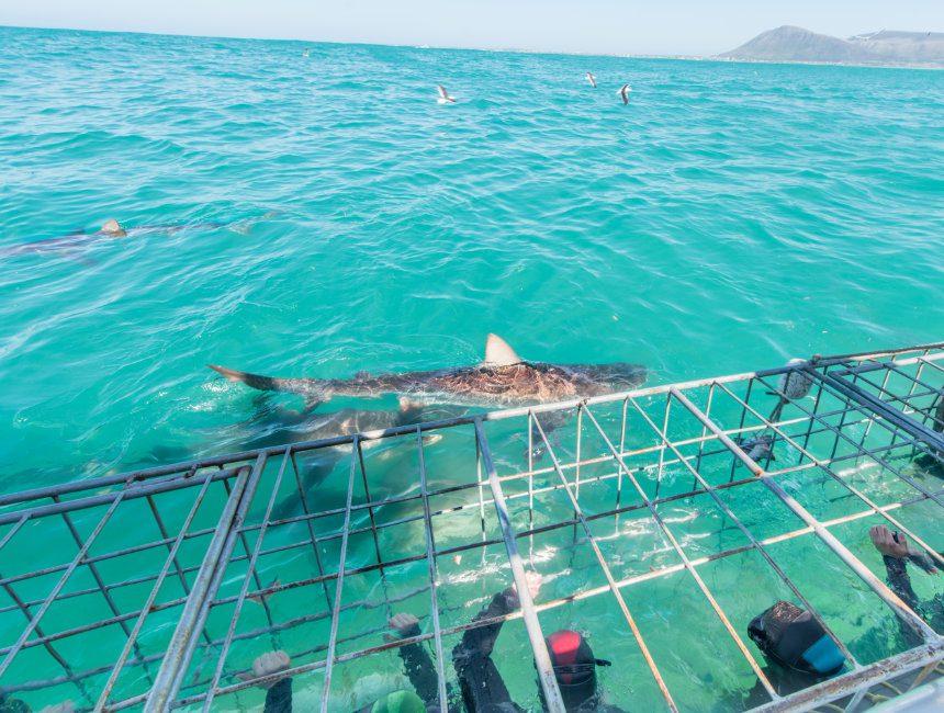 gansbaai zwemmen met haaien kaapstad