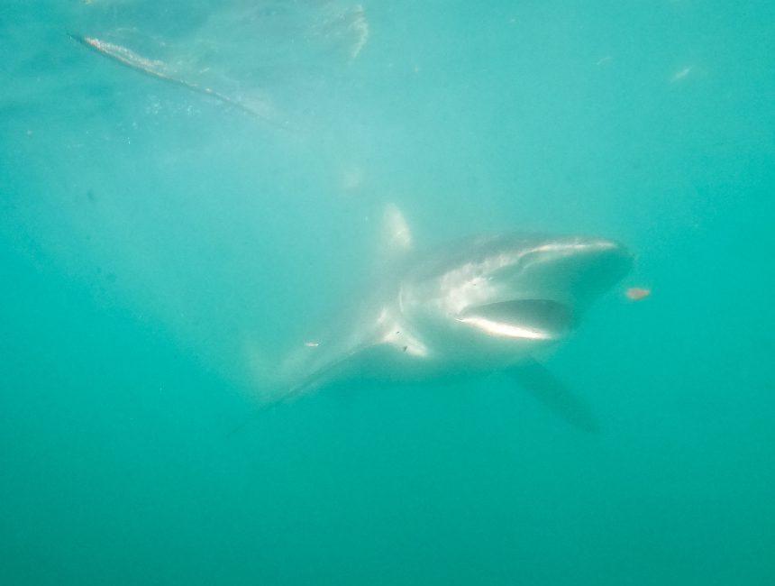 kooiduiken Kaapstad haaien