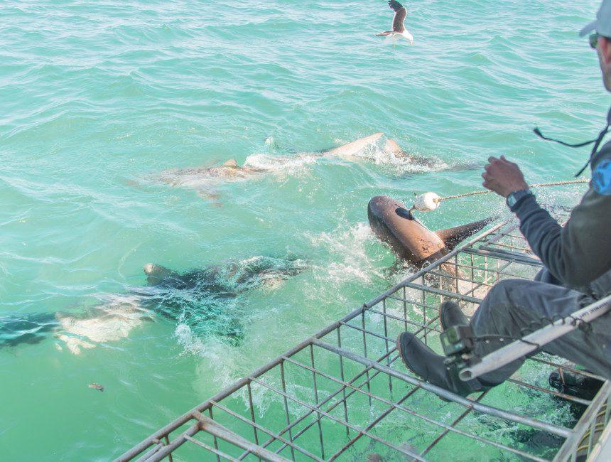 vrijwilligerswerk witte haaien Zuid-Afrika