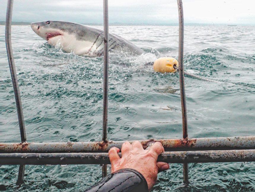 witte haaien gansbaai