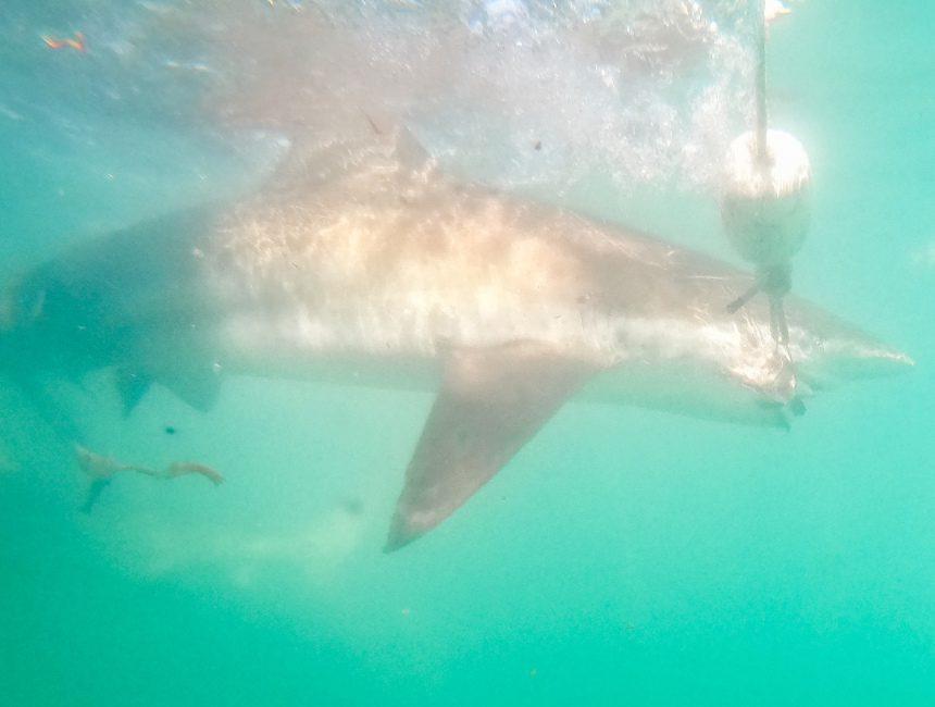 zwemmen met haaien zuid-afrika