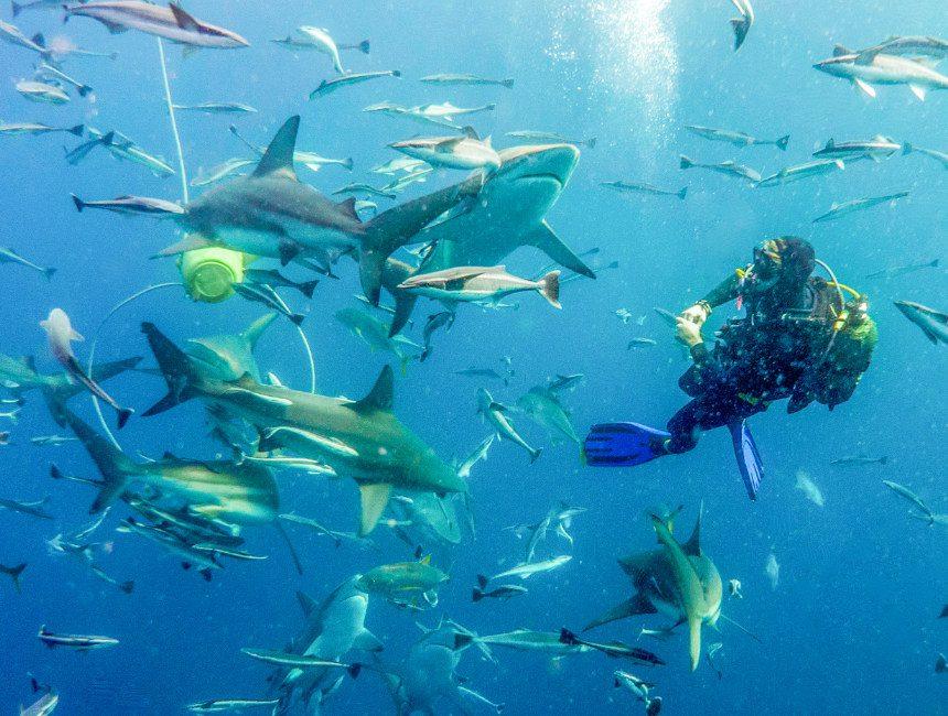 zwemmen met haaien aliwal Shoal