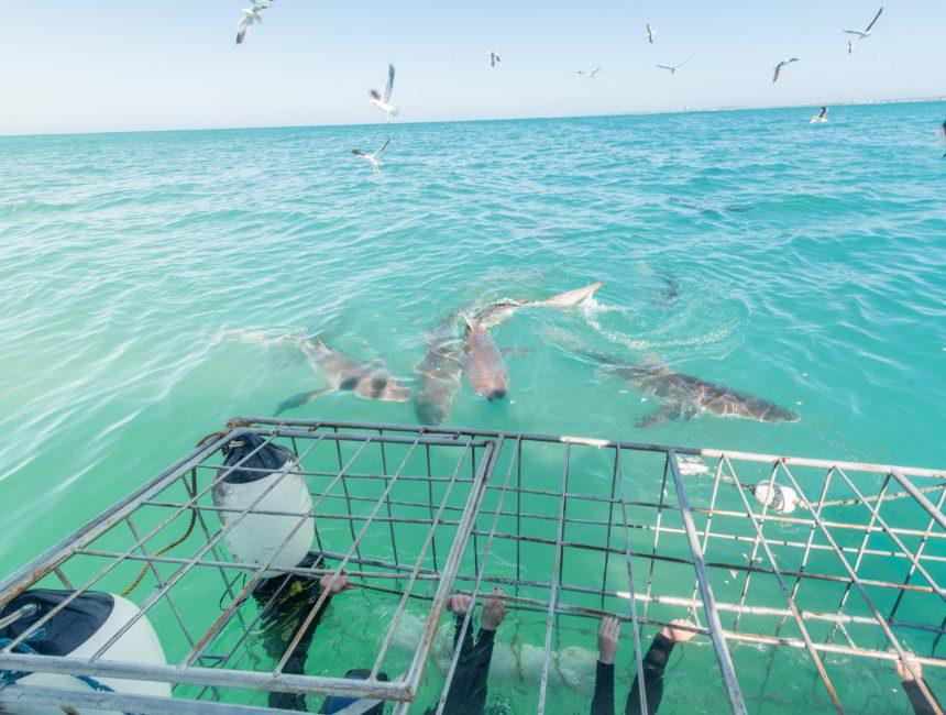 zwemmen met haaien in een kooi