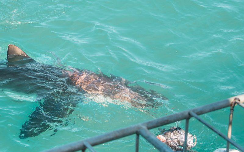 zwemmen met haaien kooiduiken gansbaai