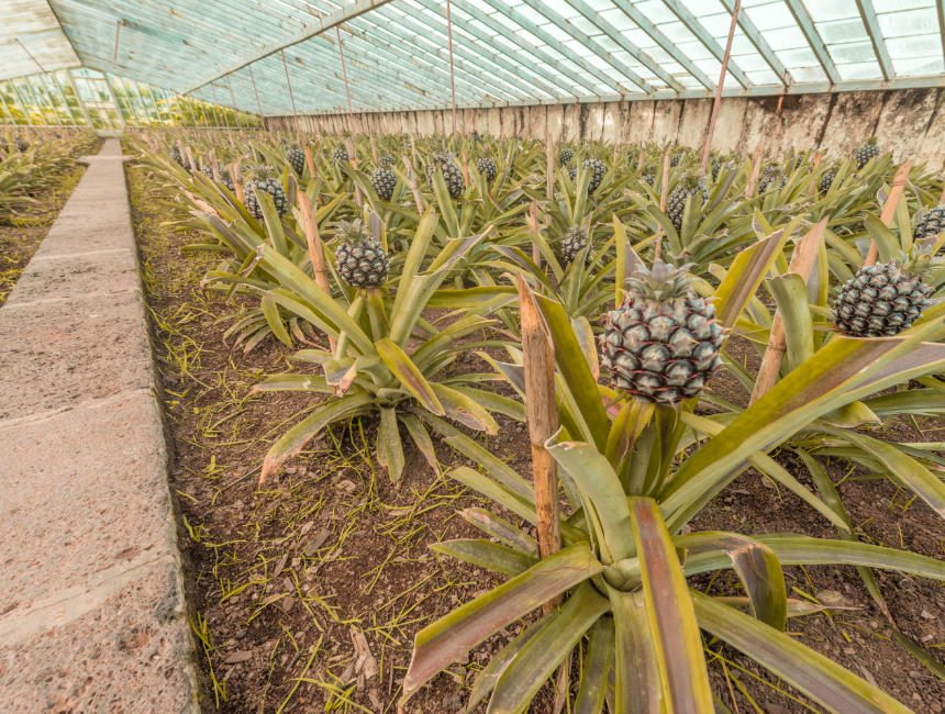 ananas plantage sao miguel dingen om te doen azoren