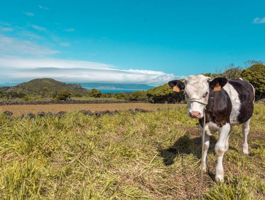 azoren koeien