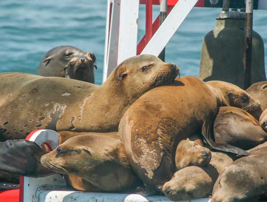 kajakken zeeleeuwen marina del rey
