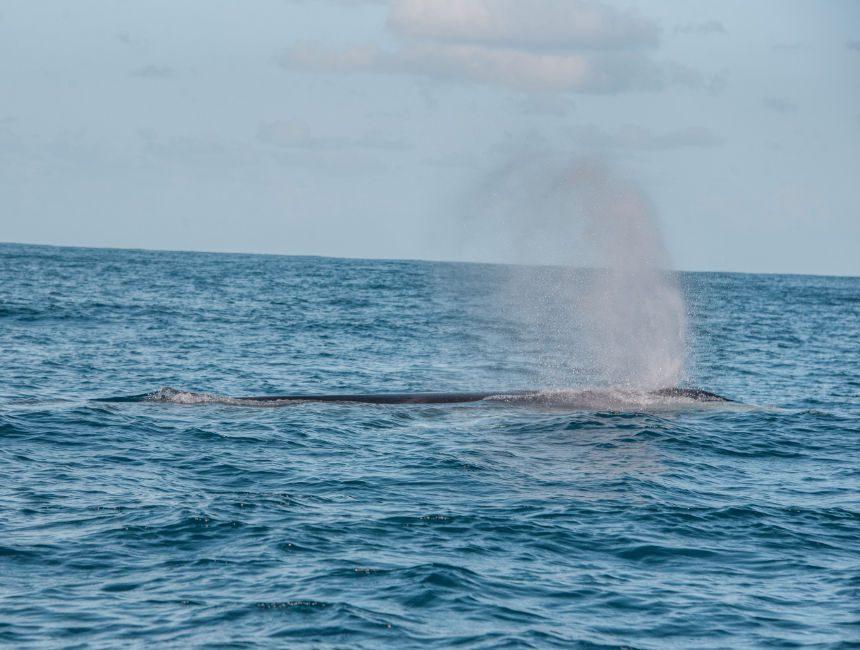walvissen kijken azoren sao miguel gewone vinvis