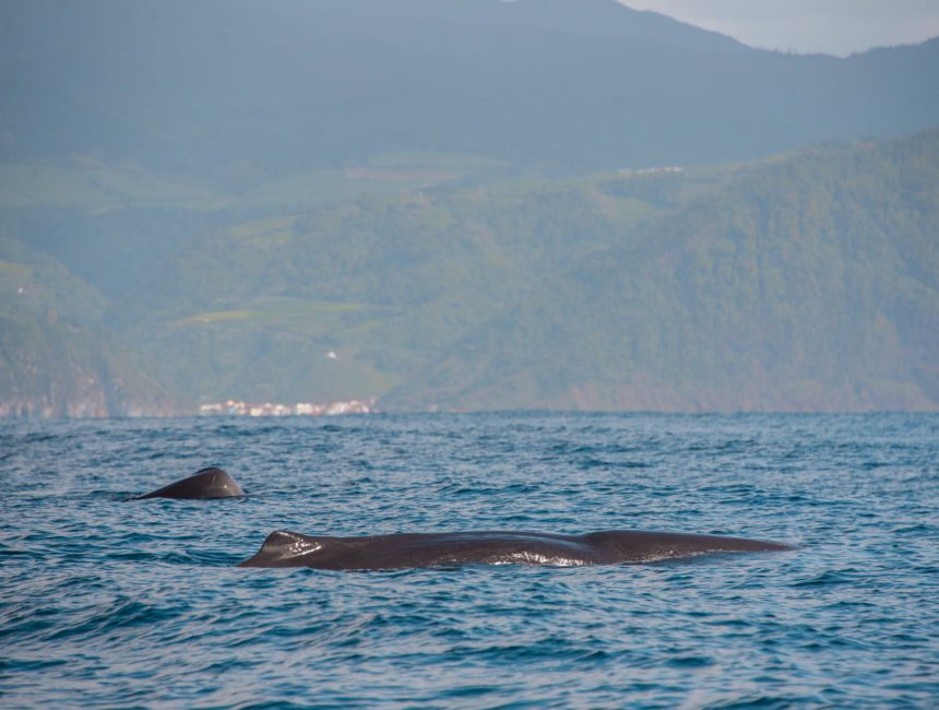 walvissen spotten azoren terceira