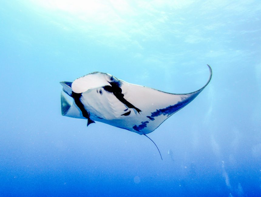 zwemmen met mantaroggen bali
