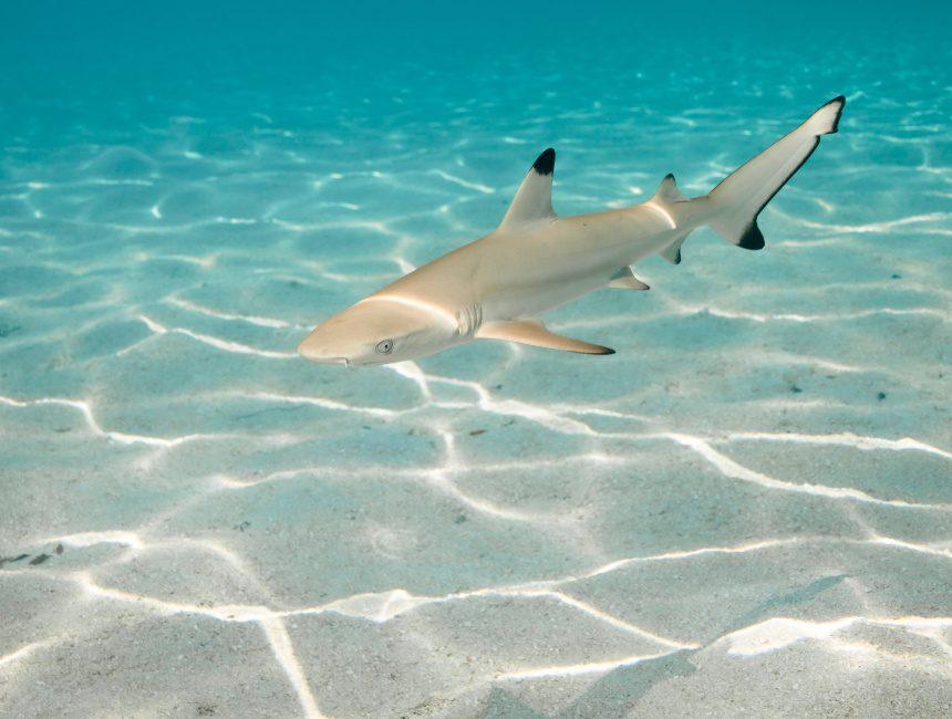 duiken dominicaanse republiek haai
