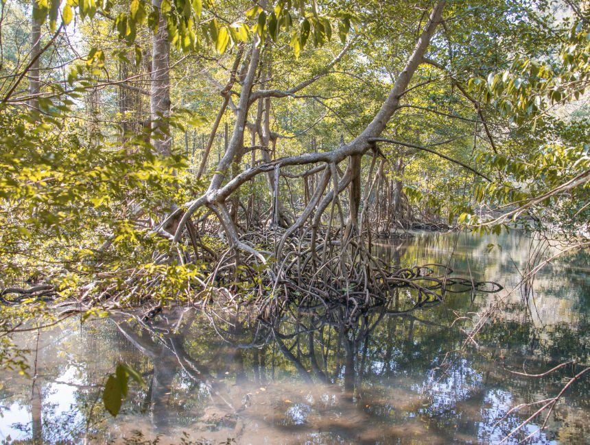 Los Haitises mangroven
