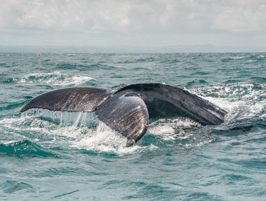 bultrugwalvissen Dominicaanse Republiek