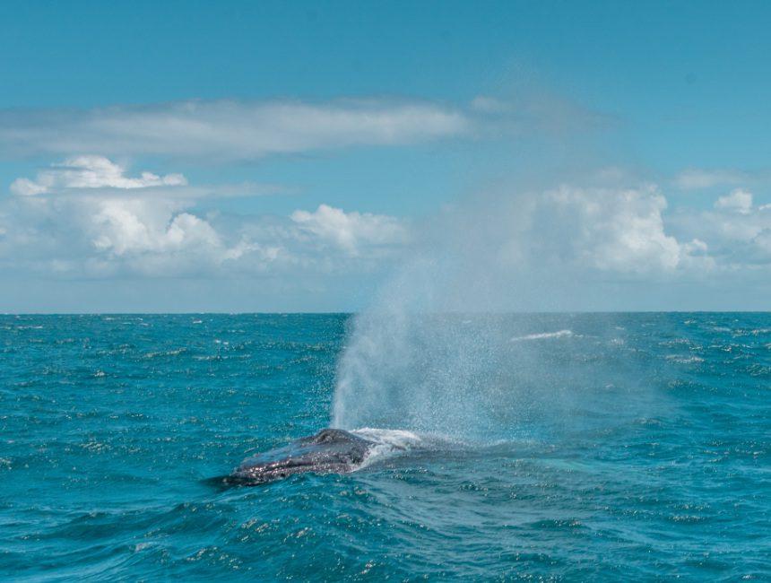 caraiben walvissen